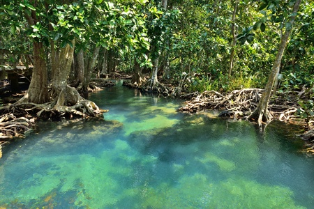 mangrove forest: Mangrove forests ( swamp ) with Stream