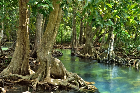 swamp: Mangrove forests ( swamp ) with Stream