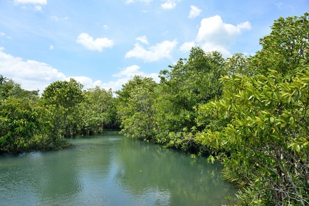 Mangrove forests   swamp   with Stream photo