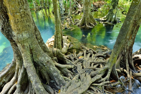 Mangrove forests ( swamp ) with Stream Stock Photo - 19139846