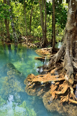 Mangrove forests ( swamp ) with Stream Stock Photo - 19139847