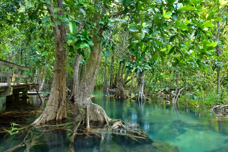 beautiful woodland: Mangrove forests ( swamp ) with Stream