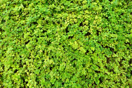 Green wall of  leaves, nature background, texture  photo