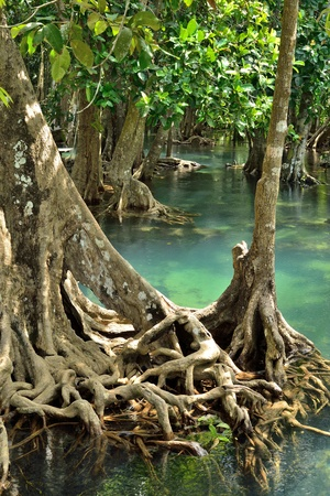 Mangrove forests ( swamp ) with Stream photo