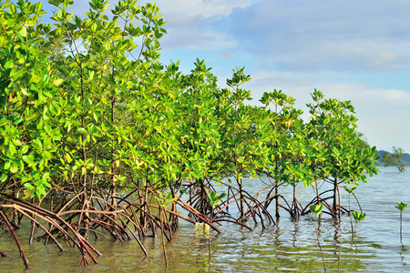 mangrove forest: Mangrove plants growing in wetlands  A protective earth connection from the storm  And breeding animals  Stock Photo
