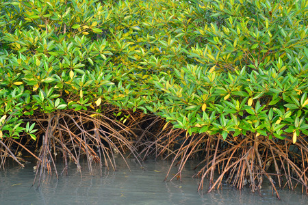 mangrove forest: Mangrove plants growing in wetlands.protective earth connection from the storm. And breeding animals. Stock Photo