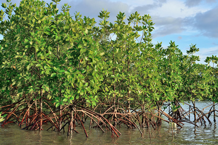 mangrove forest: Mangrove plants growing in wetlands protective earth connection from the storm  And breeding animals