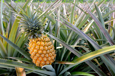 Pineapple tropical fruit growing in a farm Zdjęcie Seryjne - 26044809