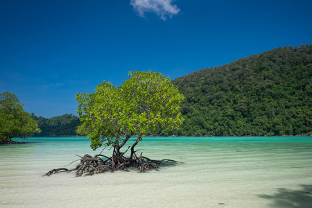 mangrove forest: Mangrove plants growing in wetlands