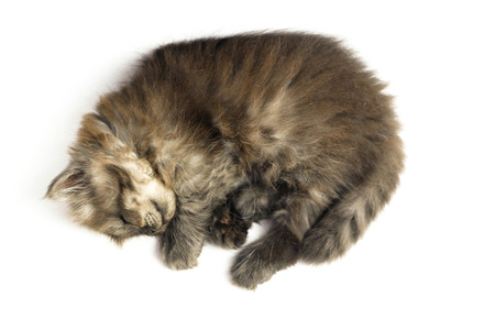 cat isolated: gray brown kitten sleep on a white background