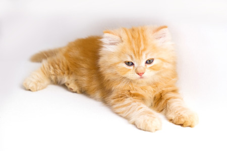 white red: red persian kitten on a white background