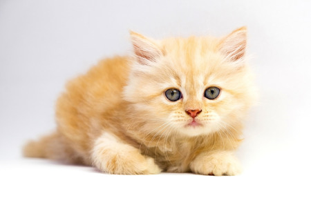 white cats: red persian kitten on white background