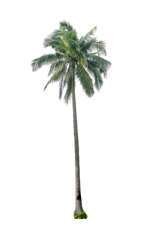 palm trees: Coconut tree isolated on white background Stock Photo