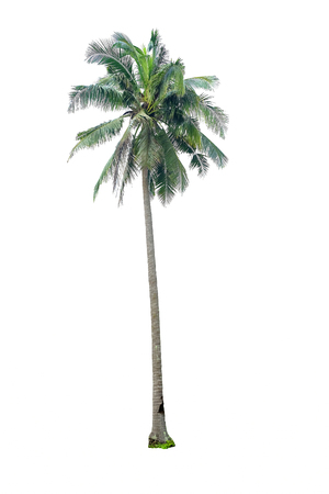tropical tree: Coconut tree isolated on white background Stock Photo