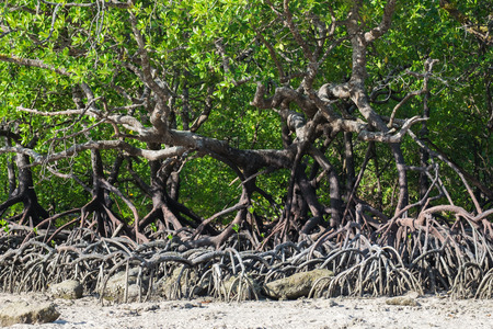 surin: Mangrove forest in the tropical place,surin island ,thailand
