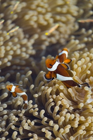ocellaris clownfish: Ocellaris clownfish in their host anemone
