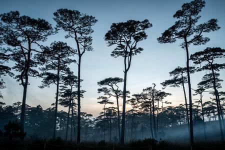 arbol de pino: Merkus  pine tree forest at Phu Soi Dao national park Uttaradit province Thailand