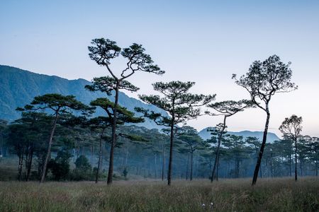 national plant: Merkus  pine tree forest at Phu Soi Dao national park Uttaradit province Thailand