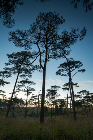 soi: Merkus  pine tree forest at Phu Soi Dao national park Uttaradit province Thailand