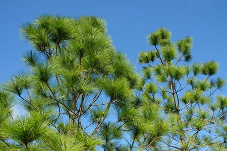 kradueng: Merkus pine on Phu Kradueng National Park,Loie,Thailand Stock Photo