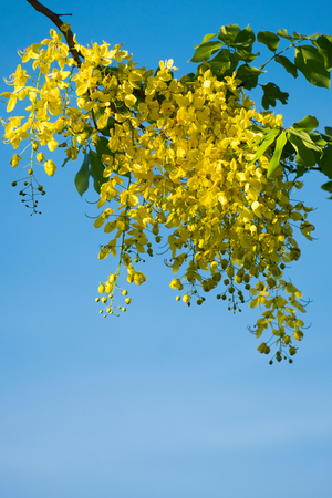 fistula: Thai golden flowers or Cassia fistula, Ratchaphruek flower, Thailand national flowers. Blooming in summer of Thailand