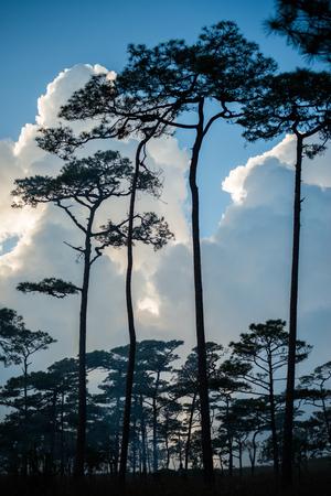 Merkus  pine tree forest at Phu Soi Dao national park Uttaradit province Thailand
