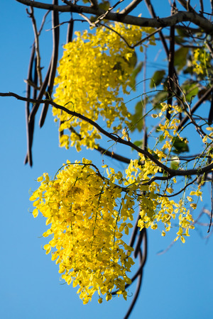 Thai golden flowers or Cassia fistula, Ratchaphruek flower, Thailand national flowers. Blooming in summer of Thailand