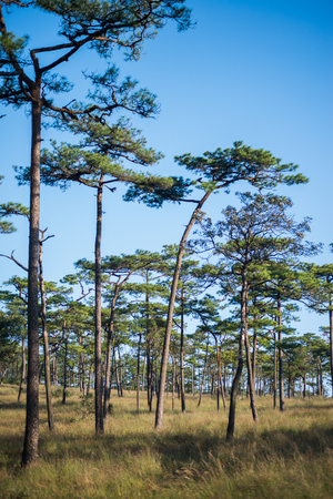 Merkus  pine tree forest at Phu Soi Dao national park Uttaradit province Thailand