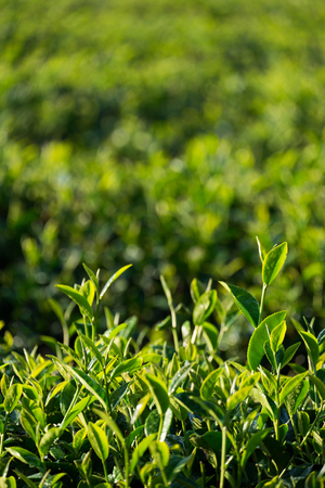 Fresh green tea leaves in tea plantation with sunlight