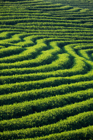 View of tea plantation at at choui fong farm,chiang rai, Thailand.