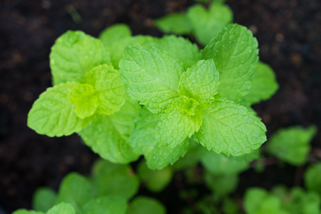 Kitchen Mint leaves green plants  ,Tropical Vegetables