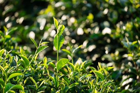 fresh green tea leaves in tea plantation with sunlight Stock Photo