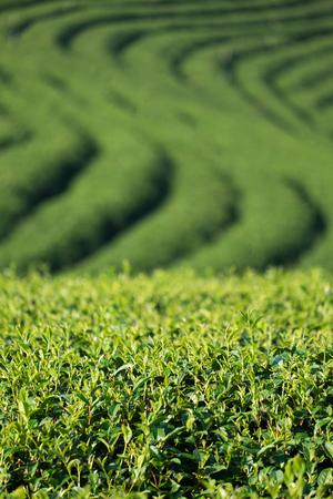 view of tea plantation at at choui fong farm,chiang rai, Thailand.