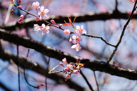 Wild Himalayan Cherry flower (Prunus cerasoides) blooming on tree with bluesky Stock Photo
