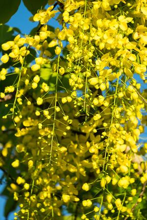 Thai golden flowers or Cassia fistula, Ratchaphruek flower, Thailand national flowers. Blooming in summer of Thailand