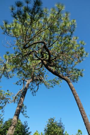 Merkus pine on Phu Kradueng National Park,Loie,Thailand Stock Photo