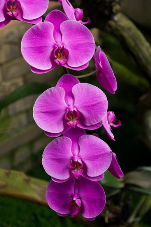 Pink orchid flowers on limb,beautiful tropical orchid flower as flora in the garden.