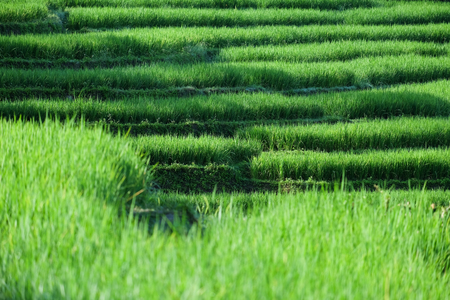 Beautiful Green Rice fields on terraces in Chiang Mai, thailand,South East Asia