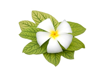 Frangipani flowers white with  a white background Stock Photo - 13905441