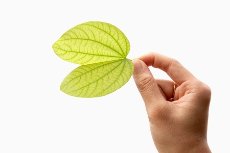 Green leaf in hand  Isolated on white Stock Photo - 13905541