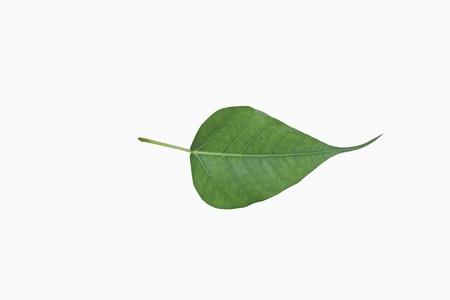 Green bodhi leaf vein on white background  Zdjęcie Seryjne