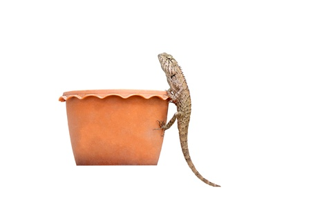 bearded dragon on pot with white background
