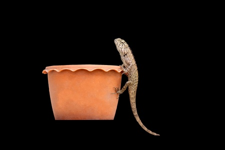 bearded dragon on pot with black background.