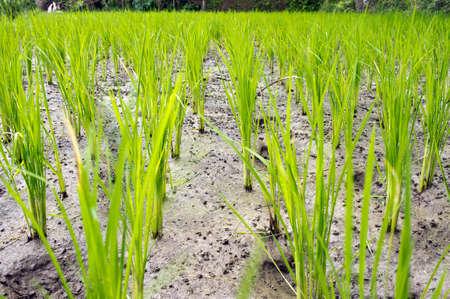 Rice Terraces photo