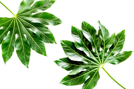big jungle leaves on white background top view.