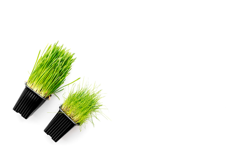 Fresh green grass for pets on white background top view copyspace Stock Photo