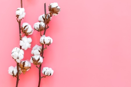 Cotton source. Collect cotton. Cotton plant with white flowers, natural view on pink background top view copy space Stock Photo