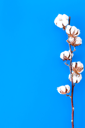White dried flowers of cotton on blue background top view space for text
