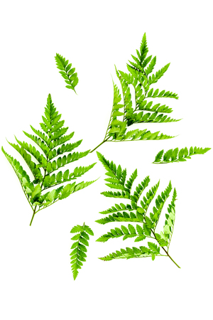 Fern leaves on white background top view. Spring background.