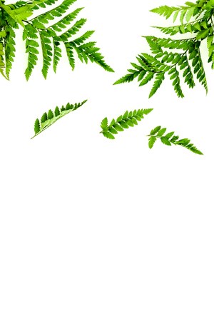 Fern leaves on white background top view border copy space. Spring background.